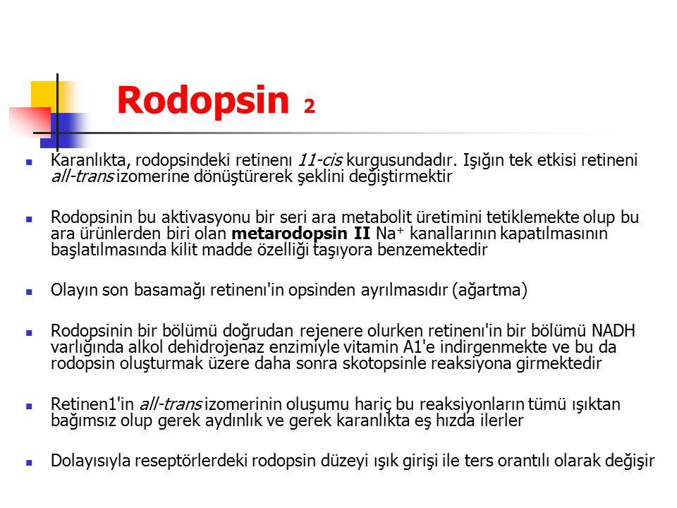 Rodopsin 2 Karanlıkta, rodopsindeki retinenı 11-cis kurgusundadır. Işığın tek etkisi retineni all-trans izomerine dönüştürerek şeklini değiştirmektir.