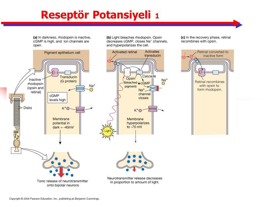 Reseptör Potansiyeli 1