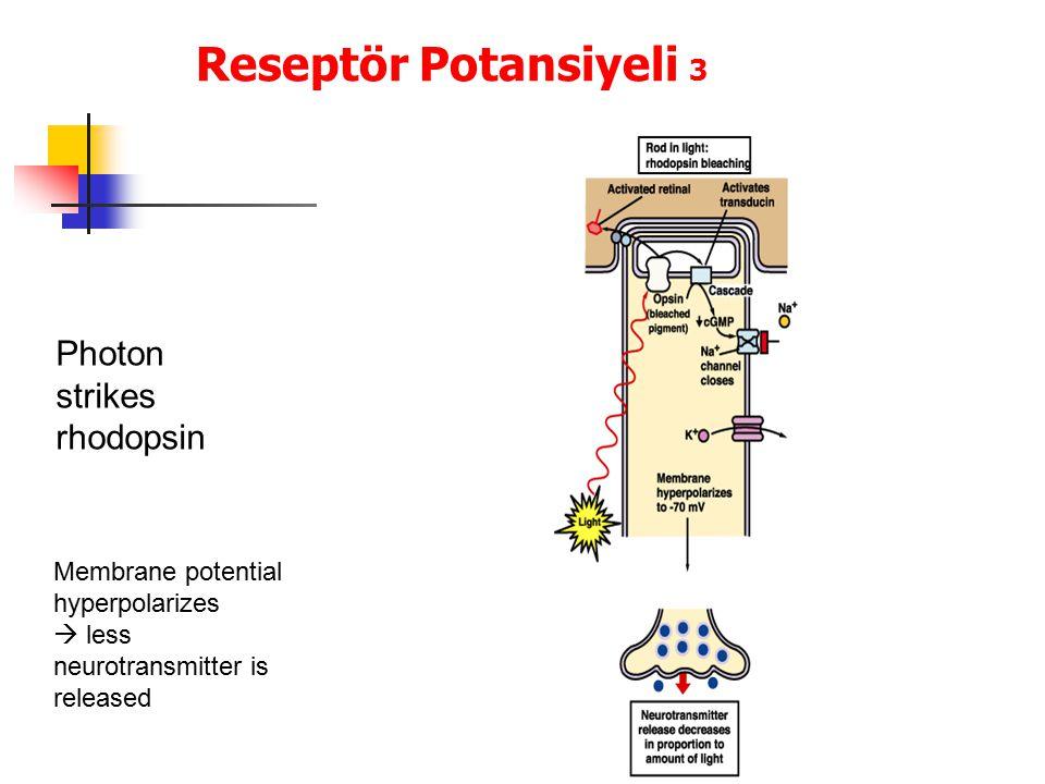 Reseptör Potansiyeli 3 Photon strikes rhodopsin