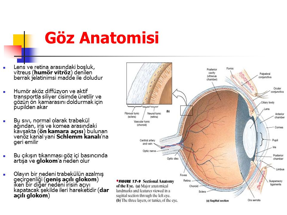 Göz Anatomisi Lens ve retina arasındaki boşluk, vitreus (humör vitröz) denilen berrak jelatinimsi madde ile doludur.