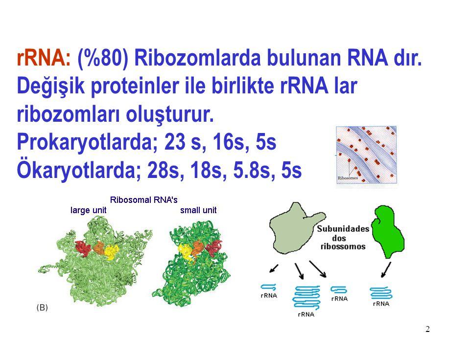 rRNA: (%80) Ribozomlarda bulunan RNA dır