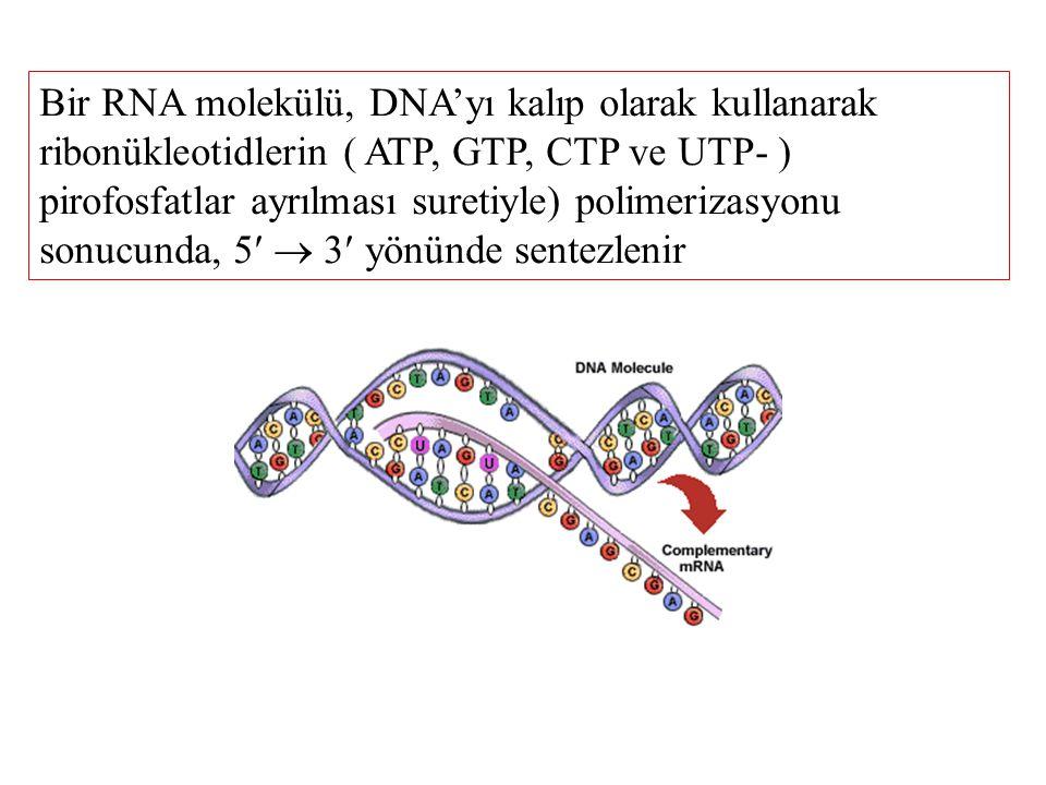 Bir RNA molekülü, DNA'yı kalıp olarak kullanarak ribonükleotidlerin ( ATP, GTP, CTP ve UTP- ) pirofosfatlar ayrılması suretiyle) polimerizasyonu sonucunda, 5  3 yönünde sentezlenir