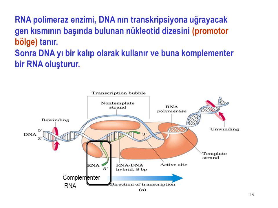 RNA polimeraz enzimi, DNA nın transkripsiyona uğrayacak gen kısmının başında bulunan nükleotid dizesini (promotor bölge) tanır.