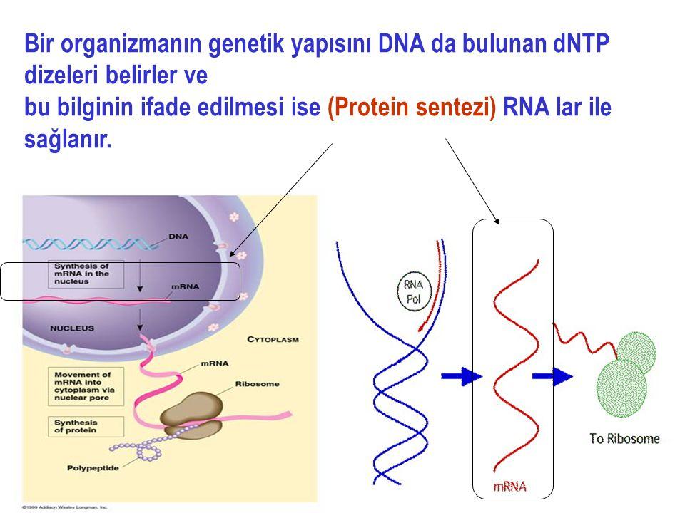 Bir organizmanın genetik yapısını DNA da bulunan dNTP dizeleri belirler ve