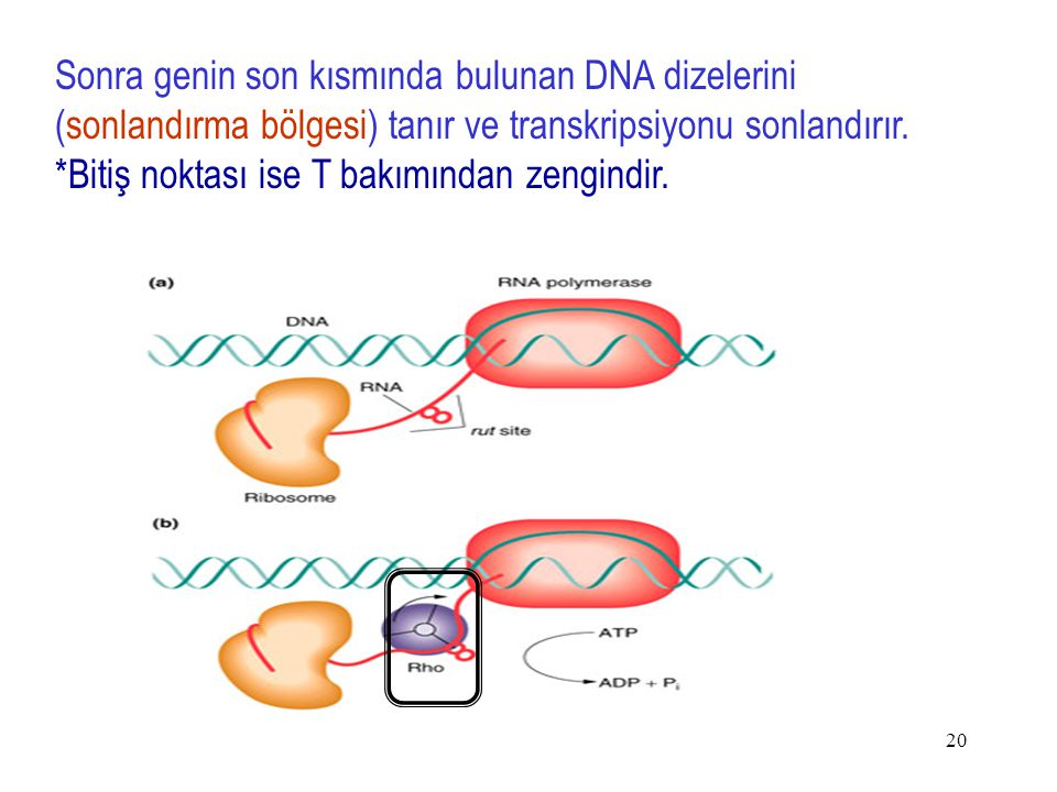Sonra genin son kısmında bulunan DNA dizelerini (sonlandırma bölgesi) tanır ve transkripsiyonu sonlandırır.