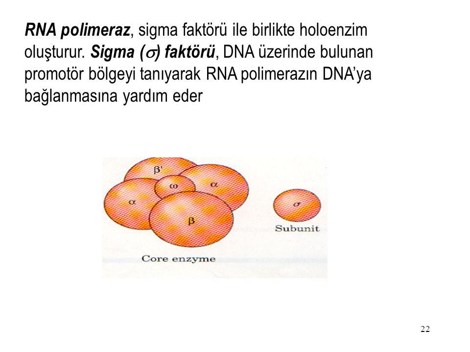RNA polimeraz, sigma faktörü ile birlikte holoenzim oluşturur