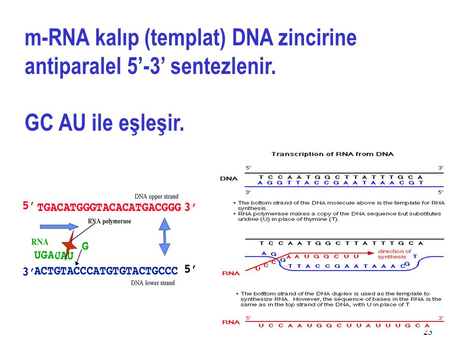 m-RNA kalıp (templat) DNA zincirine antiparalel 5'-3' sentezlenir.