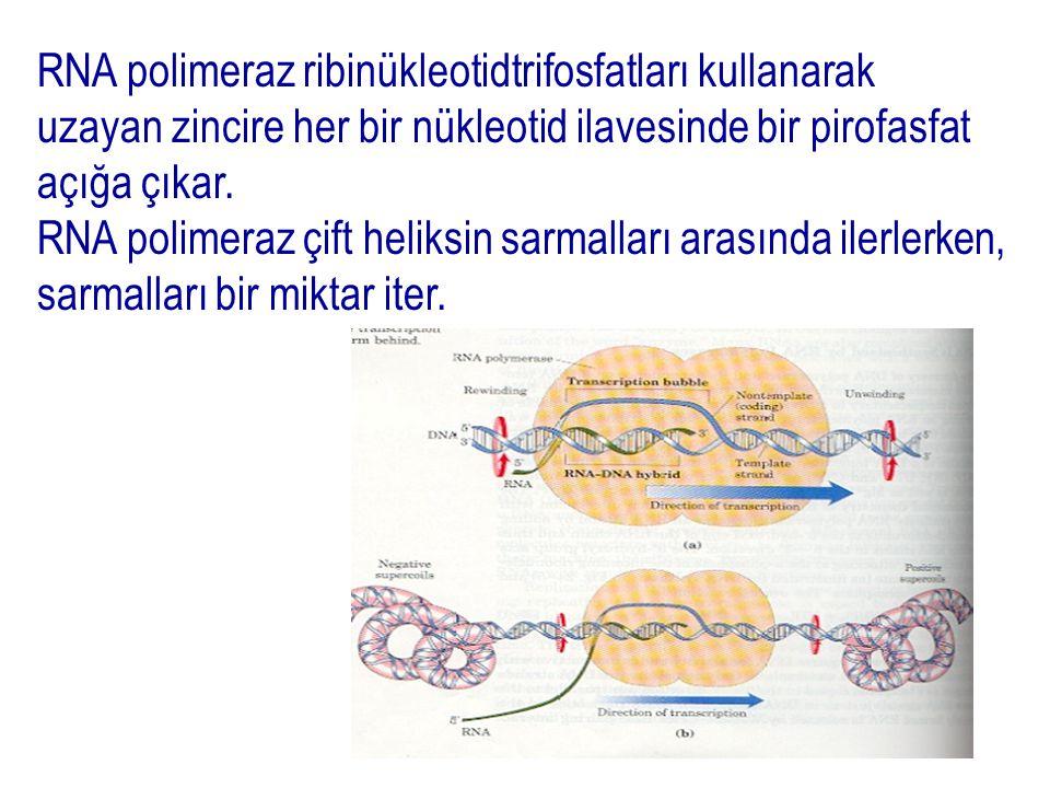RNA polimeraz ribinükleotidtrifosfatları kullanarak uzayan zincire her bir nükleotid ilavesinde bir pirofasfat açığa çıkar.
