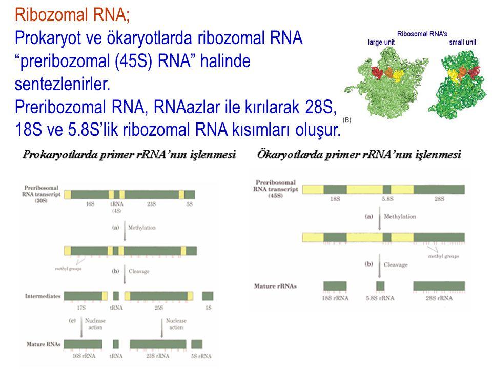 Ribozomal RNA; Prokaryot ve ökaryotlarda ribozomal RNA preribozomal (45S) RNA halinde sentezlenirler.