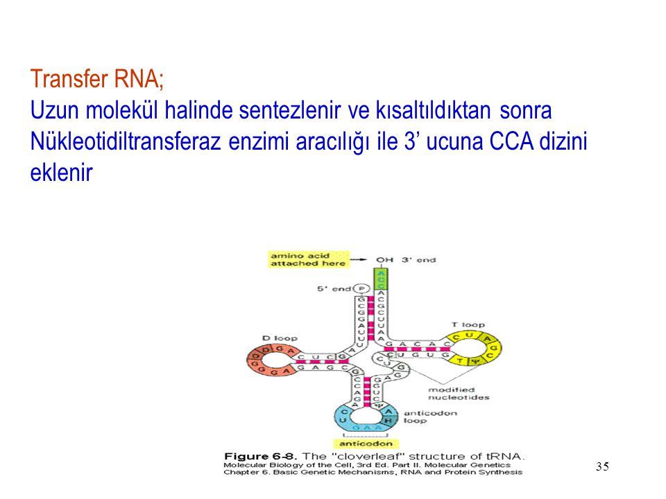 Transfer RNA; Uzun molekül halinde sentezlenir ve kısaltıldıktan sonra Nükleotidiltransferaz enzimi aracılığı ile 3' ucuna CCA dizini eklenir.