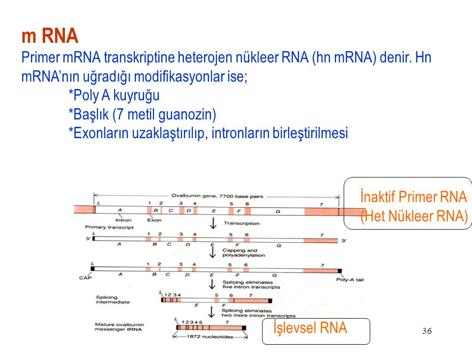 m RNA Primer mRNA transkriptine heterojen nükleer RNA (hn mRNA) denir. Hn mRNA'nın uğradığı modifikasyonlar ise;