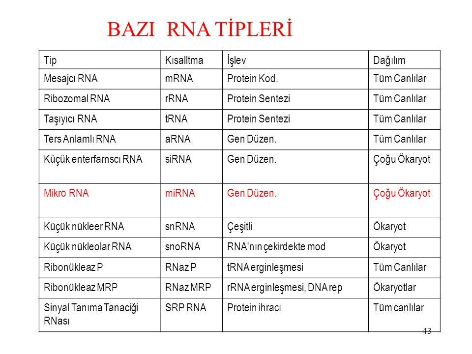 BAZI RNA TİPLERİ Tip Kısalltma İşlev Dağılım Mesajcı RNA mRNA