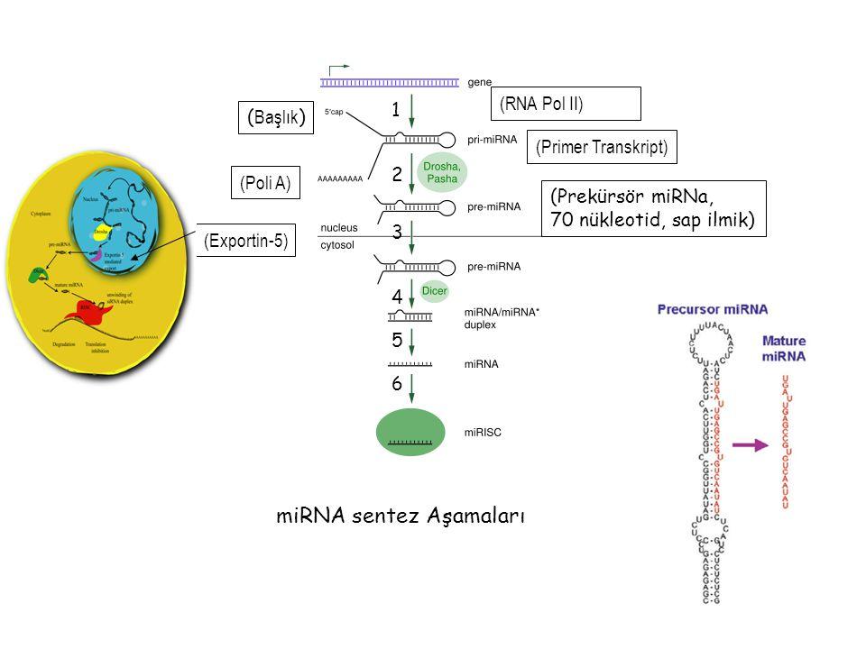 miRNA sentez Aşamaları