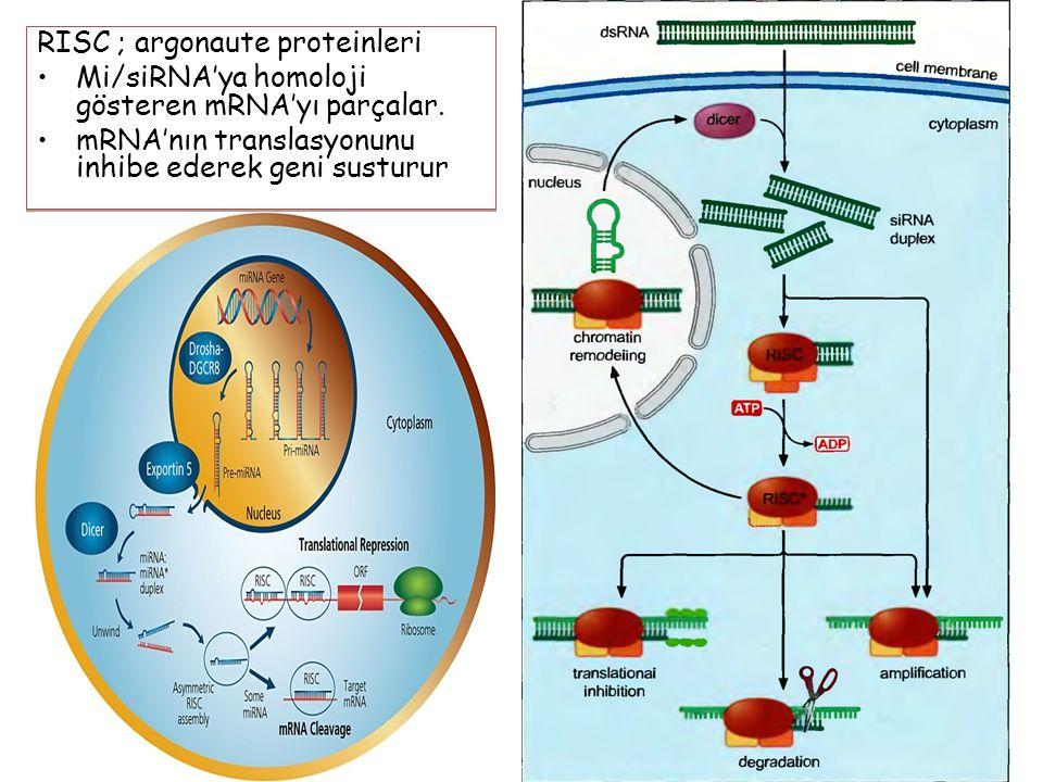 RISC ; argonaute proteinleri
