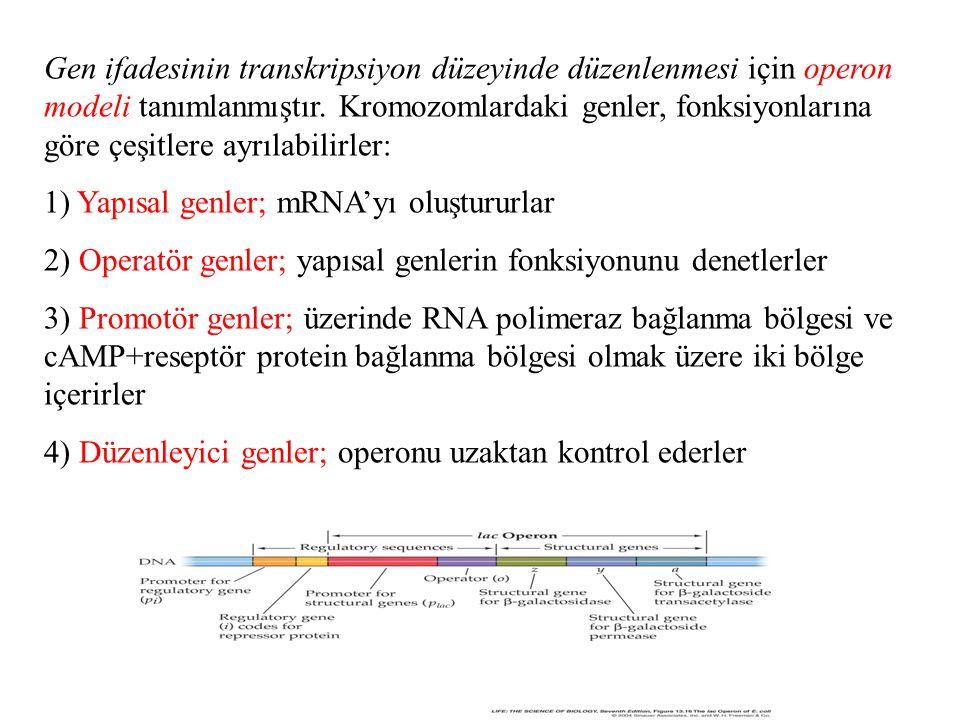 Gen ifadesinin transkripsiyon düzeyinde düzenlenmesi için operon modeli tanımlanmıştır. Kromozomlardaki genler, fonksiyonlarına göre çeşitlere ayrılabilirler: