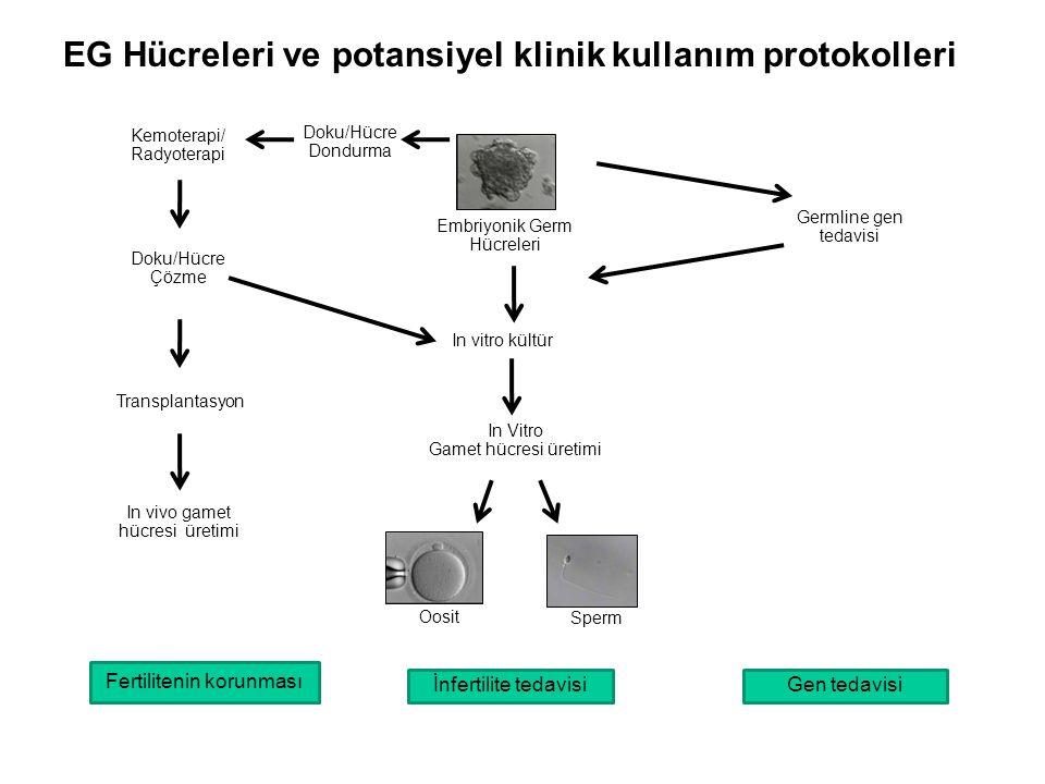 EG Hücreleri ve potansiyel klinik kullanım protokolleri