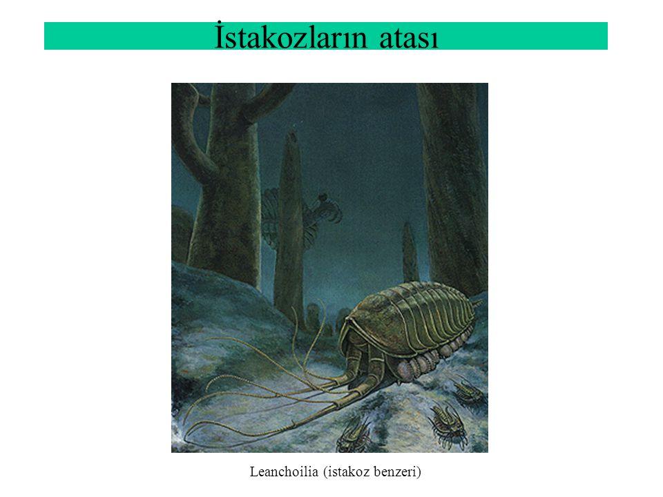 İstakozların atası Leanchoilia (istakoz benzeri)