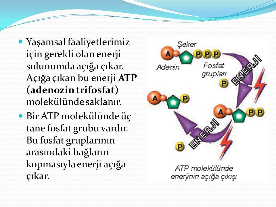 Yaşamsal faaliyetlerimiz için gerekli olan enerji solunumda açığa çıkar. Açığa çıkan bu enerji ATP (adenozin trifosfat) molekülünde saklanır.