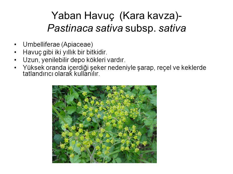 Yaban Havuç (Kara kavza)- Pastinaca sativa subsp. sativa