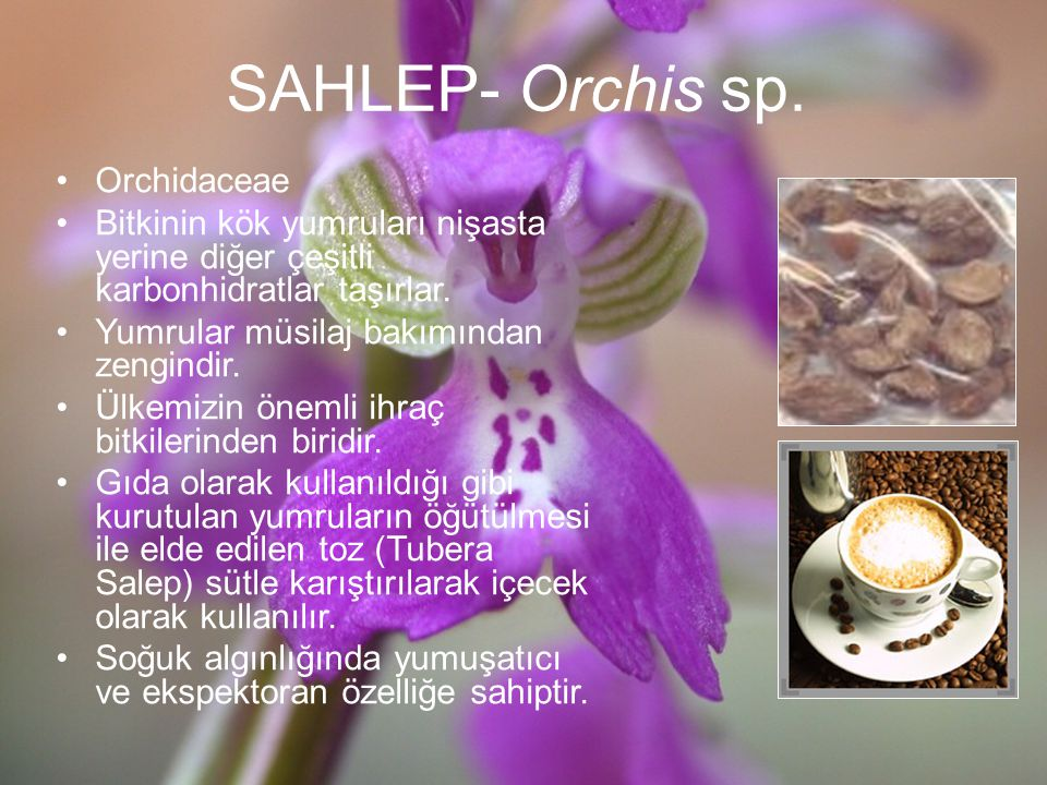 SAHLEP- Orchis sp. Orchidaceae