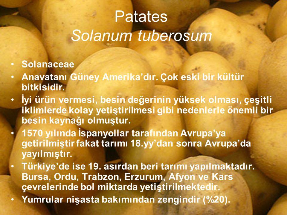 Patates Solanum tuberosum