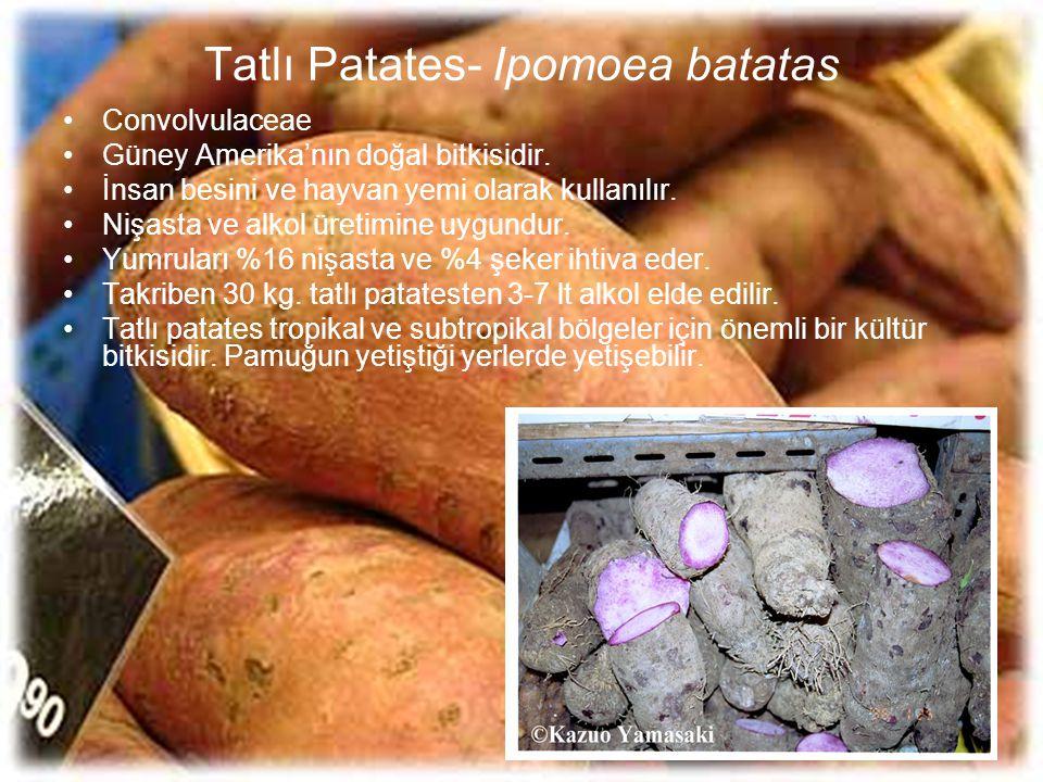 Tatlı Patates- Ipomoea batatas