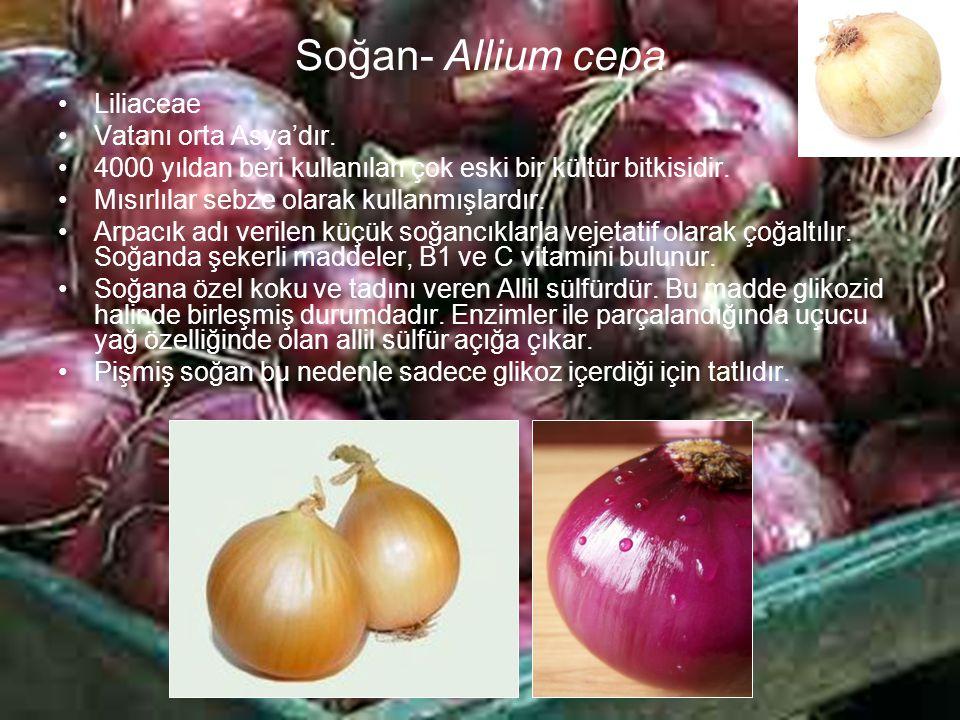 Soğan- Allium cepa Liliaceae Vatanı orta Asya'dır.