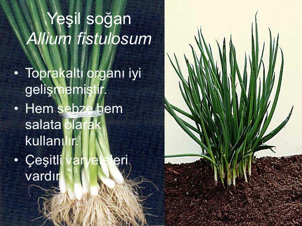 Yeşil soğan Allium fistulosum