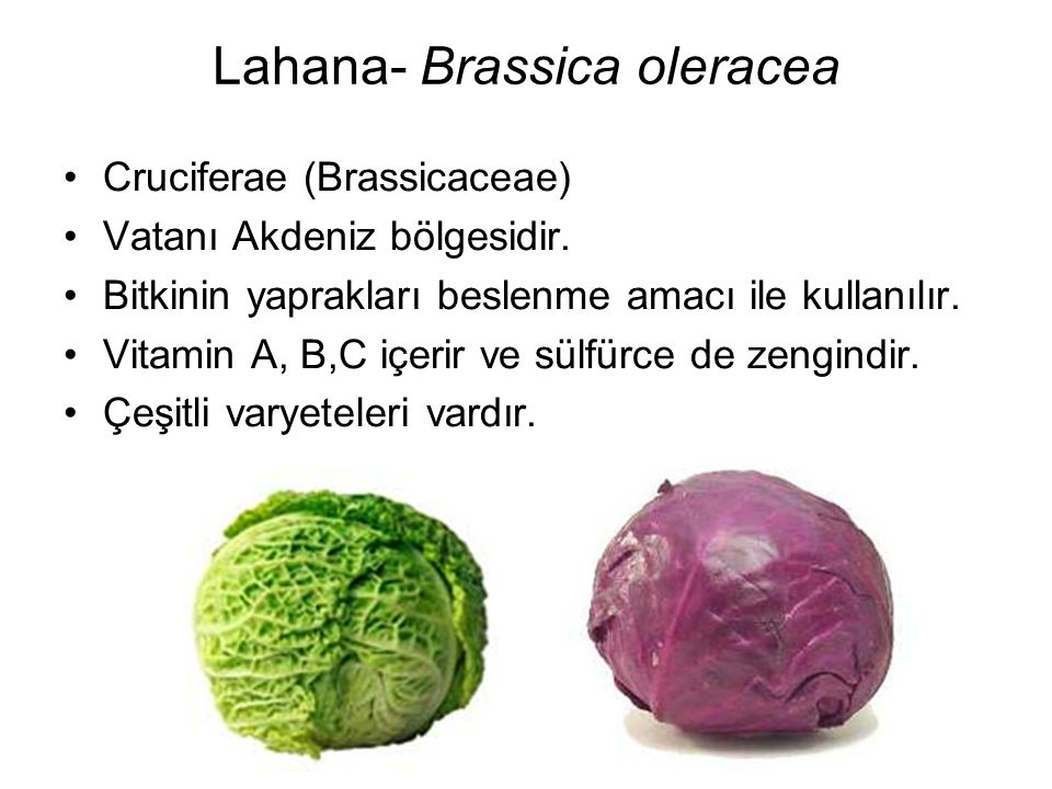 Lahana- Brassica oleracea