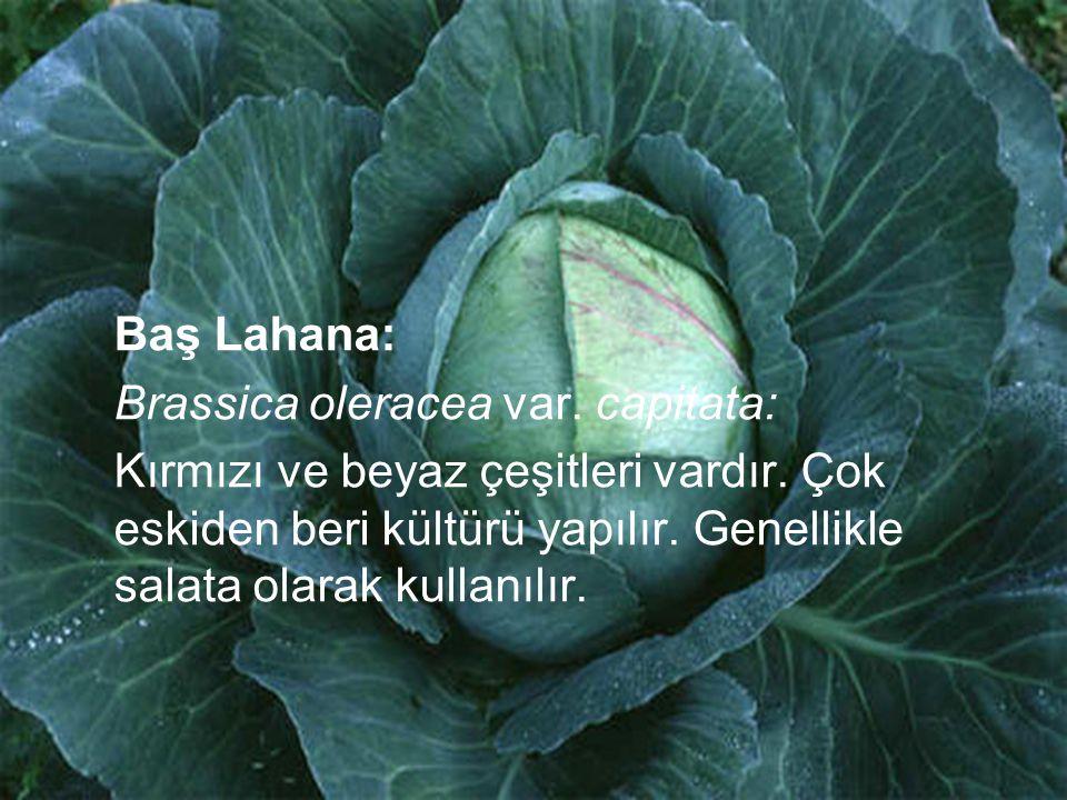 Baş Lahana: Brassica oleracea var. capitata: