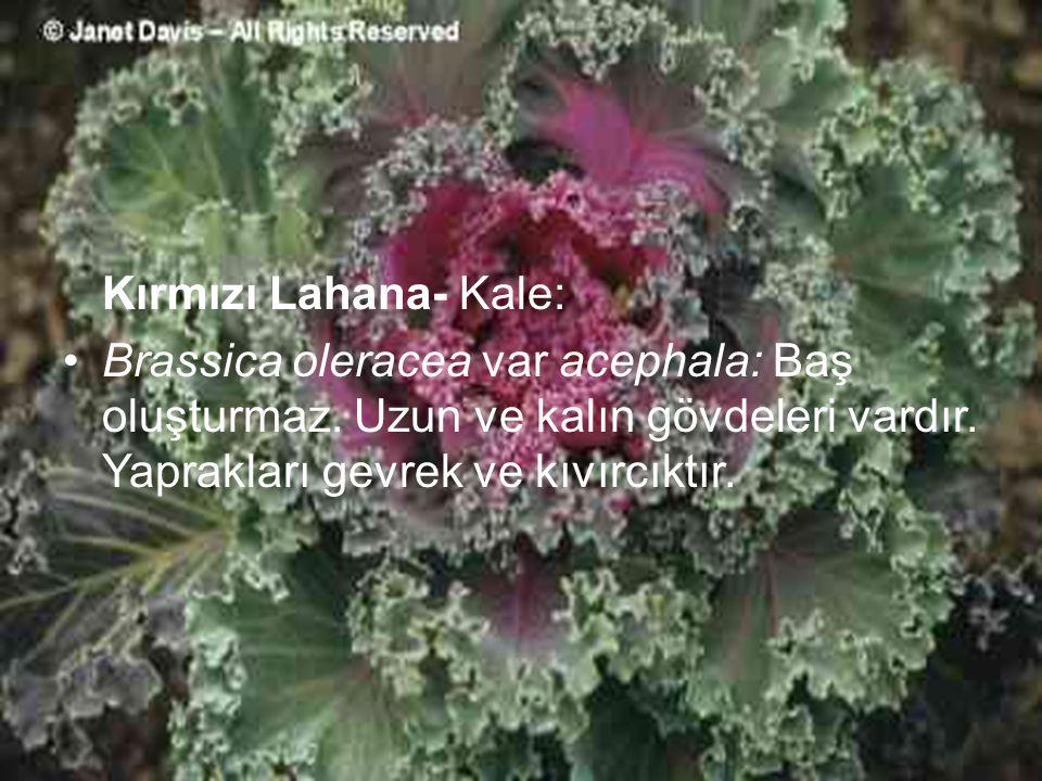 Kırmızı Lahana- Kale: Brassica oleracea var acephala: Baş oluşturmaz.
