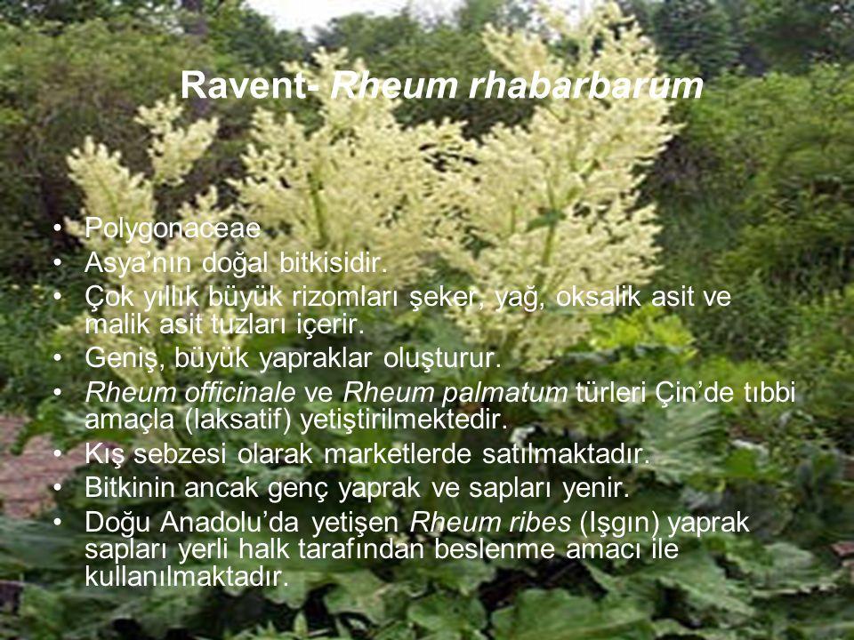 Ravent- Rheum rhabarbarum