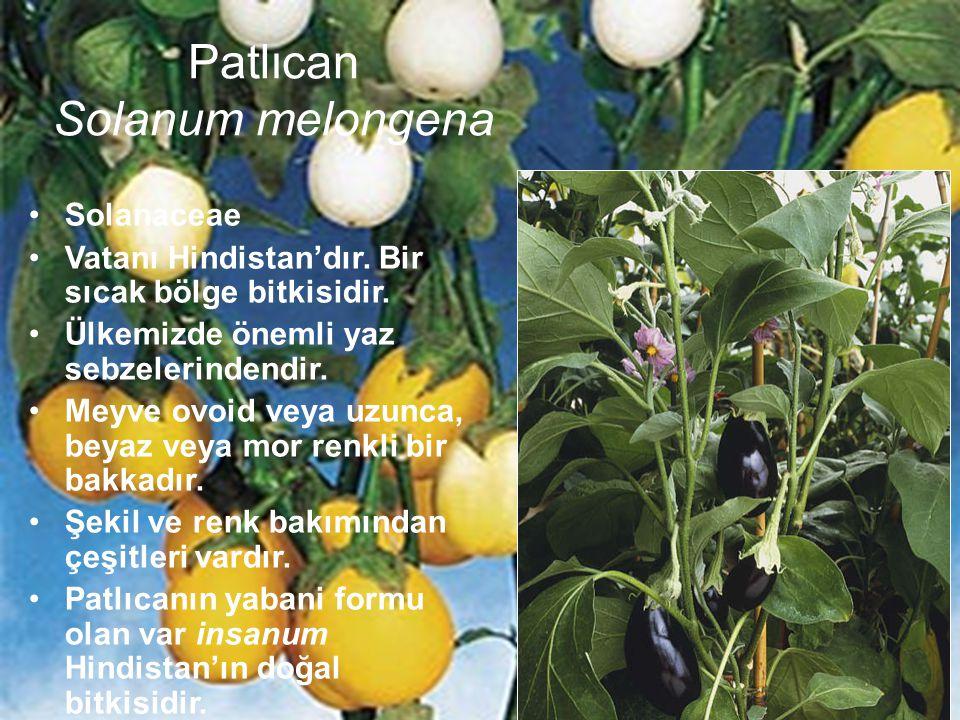 Patlıcan Solanum melongena