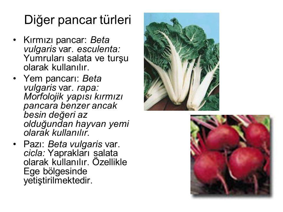Diğer pancar türleri Kırmızı pancar: Beta vulgaris var. esculenta: Yumruları salata ve turşu olarak kullanılır.
