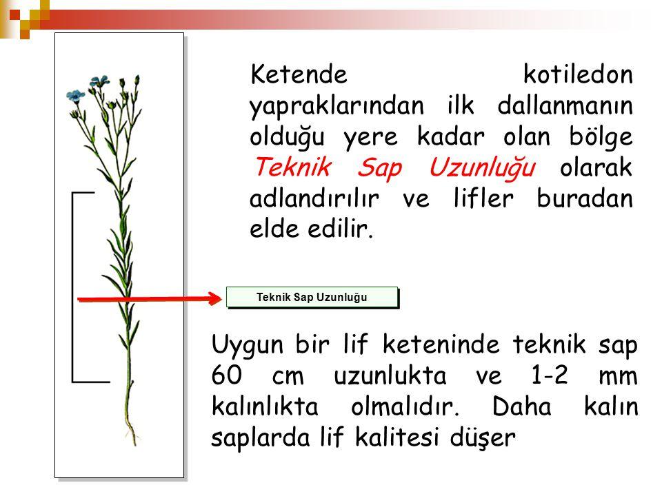 Ketende kotiledon yapraklarından ilk dallanmanın olduğu yere kadar olan bölge Teknik Sap Uzunluğu olarak adlandırılır ve lifler buradan elde edilir.