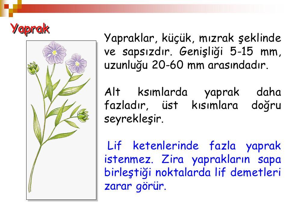 Yaprak Yapraklar, küçük, mızrak şeklinde ve sapsızdır. Genişliği 5-15 mm, uzunluğu 20-60 mm arasındadır.