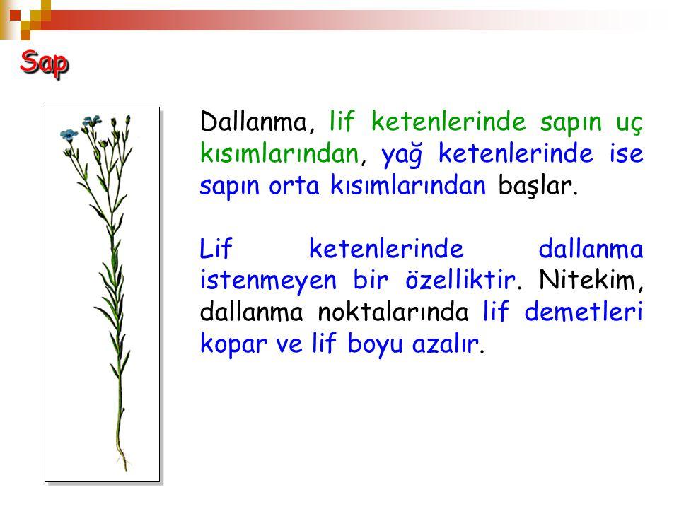 Sap Dallanma, lif ketenlerinde sapın uç kısımlarından, yağ ketenlerinde ise sapın orta kısımlarından başlar.