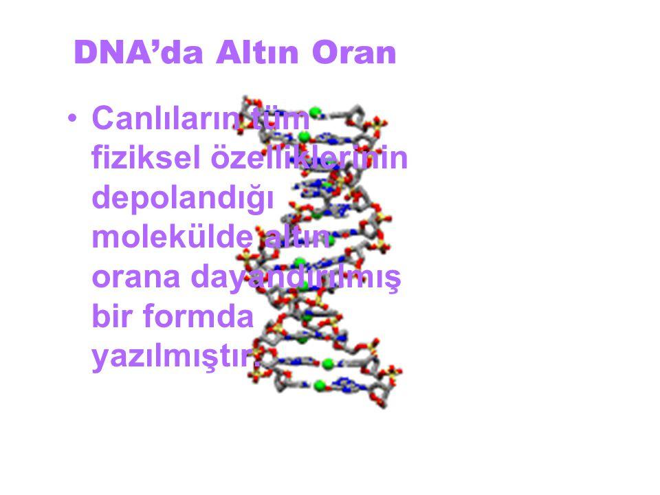 DNA'da Altın Oran Canlıların tüm fiziksel özelliklerinin depolandığı molekülde altın orana dayandırılmış bir formda yazılmıştır.