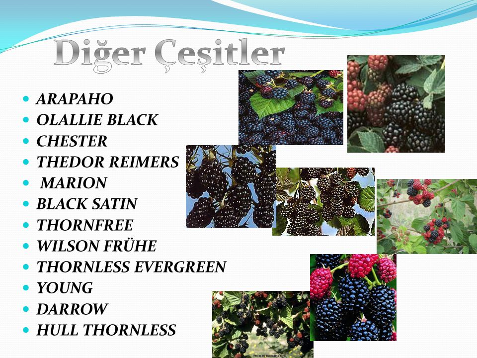 Diğer Çeşitler ARAPAHO OLALLIE BLACK CHESTER THEDOR REIMERS MARION