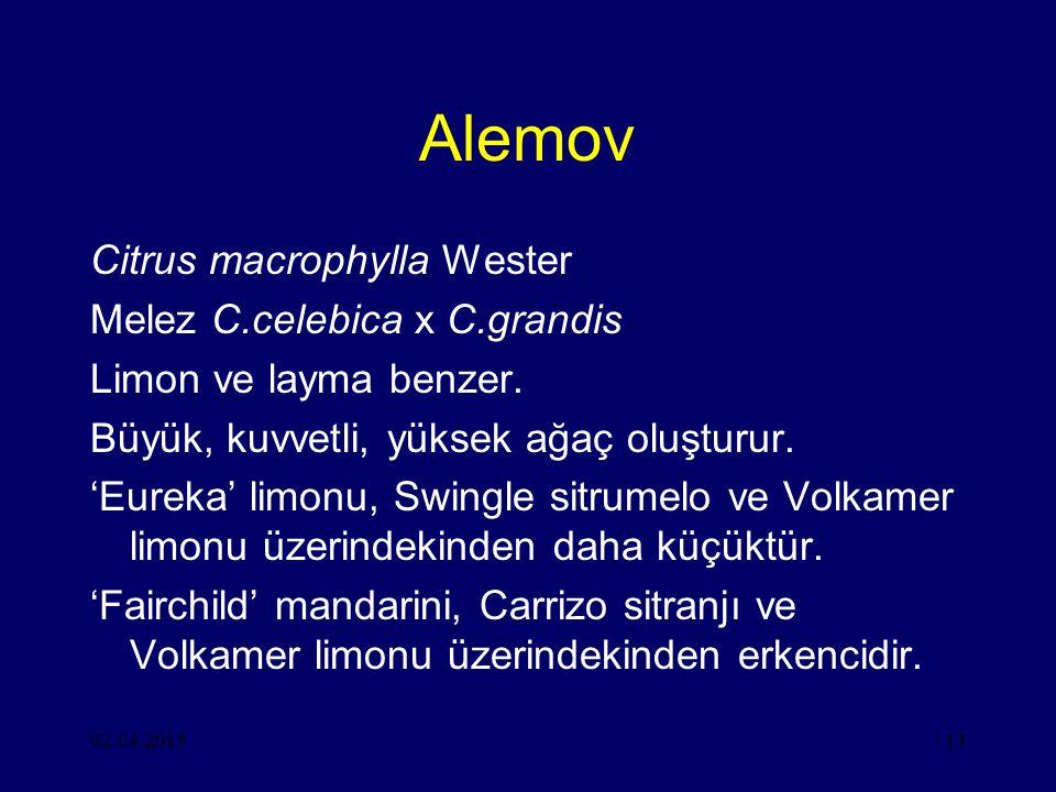 Alemov Citrus macrophylla Wester Melez C.celebica x C.grandis