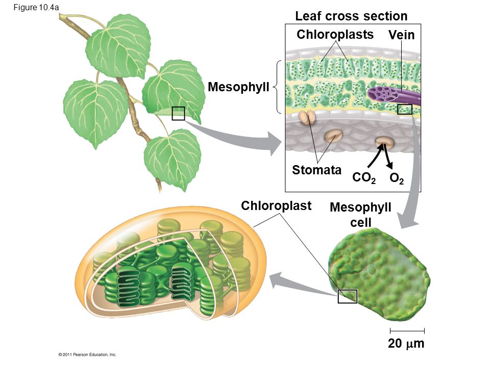 Leaf cross section Chloroplasts Vein Mesophyll Stomata CO2 O2
