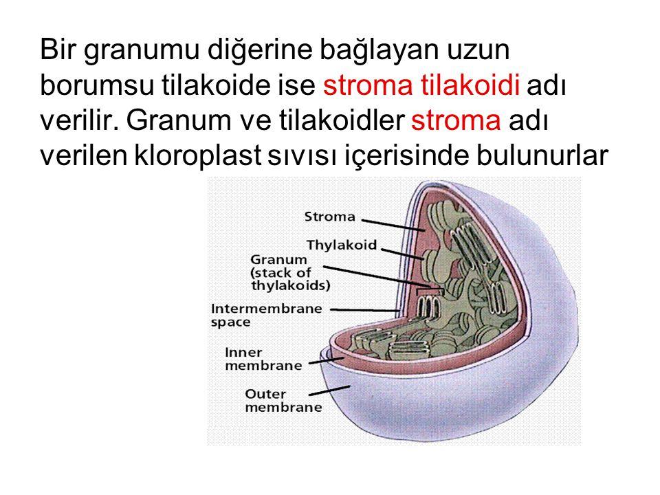 Bir granumu diğerine bağlayan uzun borumsu tilakoide ise stroma tilakoidi adı verilir.