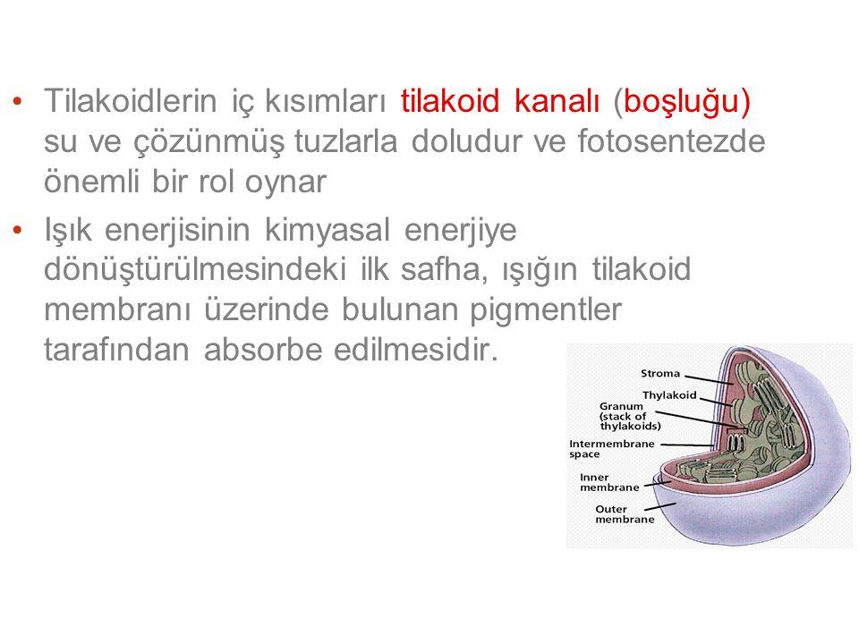 Tilakoidlerin iç kısımları tilakoid kanalı (boşluğu) su ve çözünmüş tuzlarla doludur ve fotosentezde önemli bir rol oynar