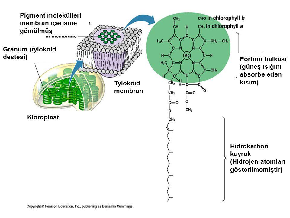 Pigment molekülleri membran içerisine gömülmüş