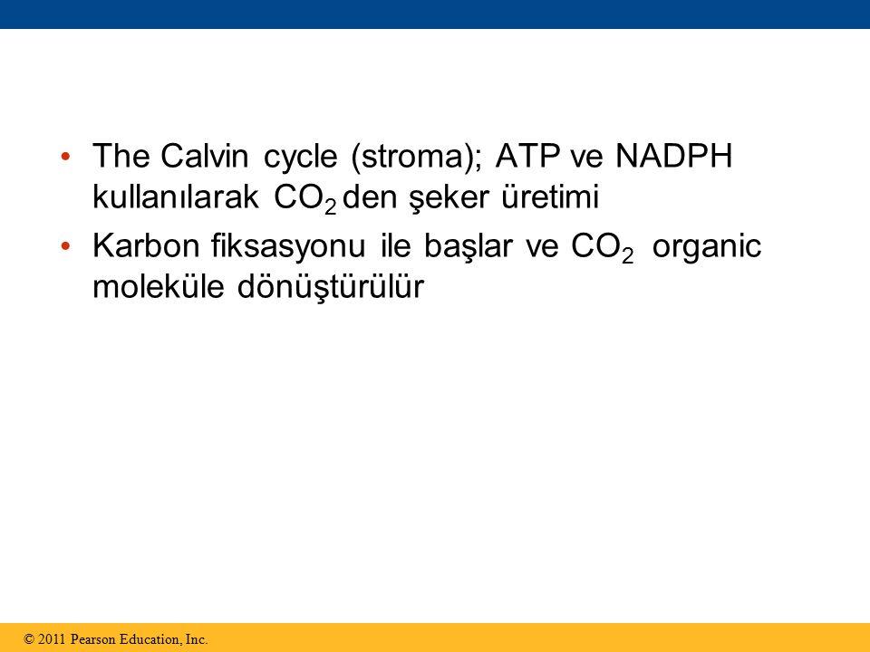 Karbon fiksasyonu ile başlar ve CO2 organic moleküle dönüştürülür