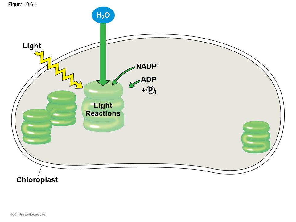 H2O Light NADP ADP + P i Light Reactions Chloroplast Figure 10.6-1