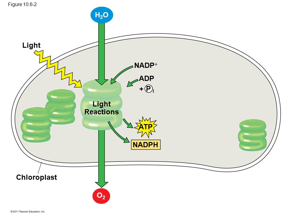 H2O Light NADP ADP + P i Light Reactions ATP NADPH Chloroplast O2