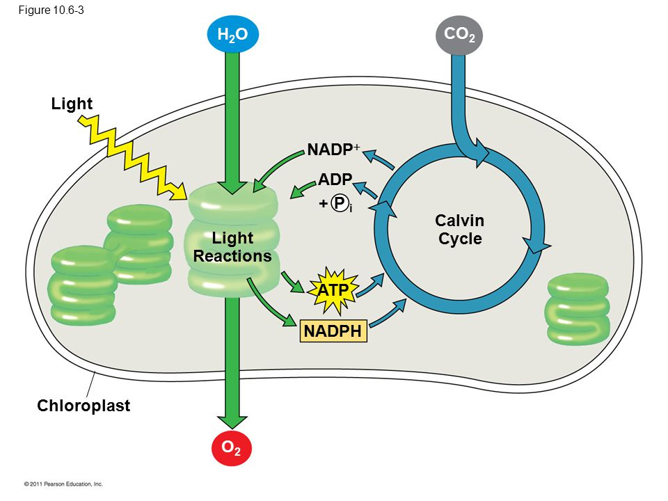 Calvin Cycle Light Reactions