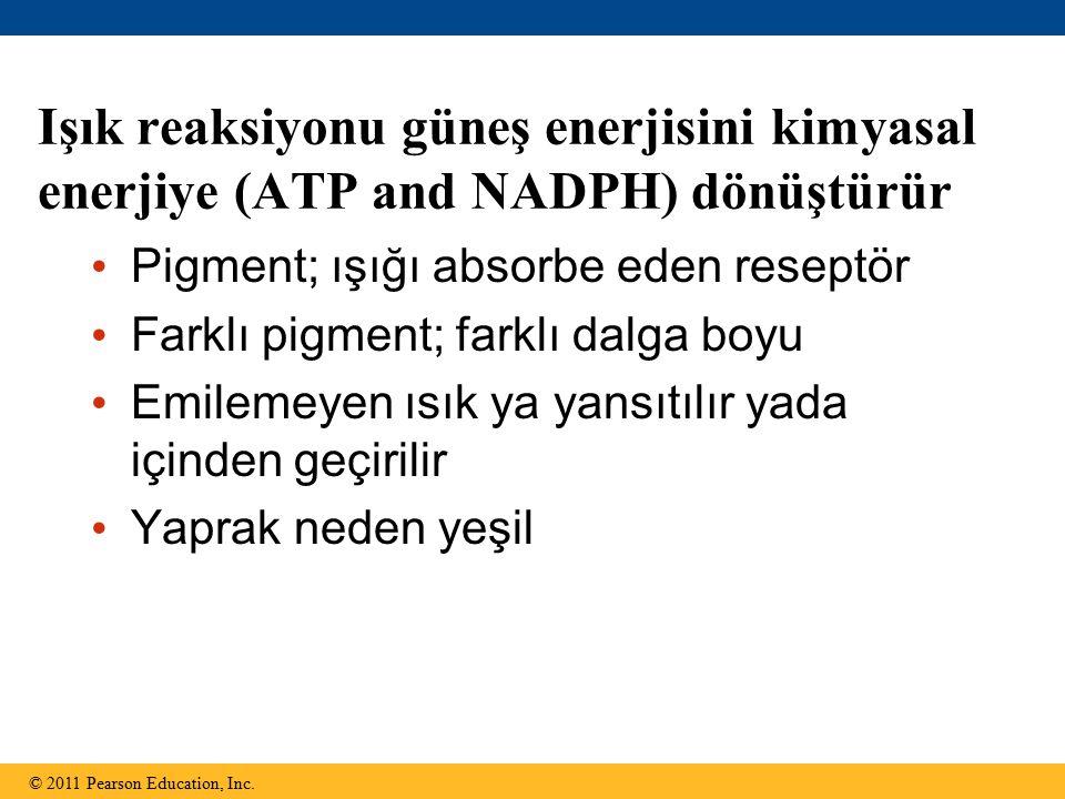 Işık reaksiyonu güneş enerjisini kimyasal enerjiye (ATP and NADPH) dönüştürür