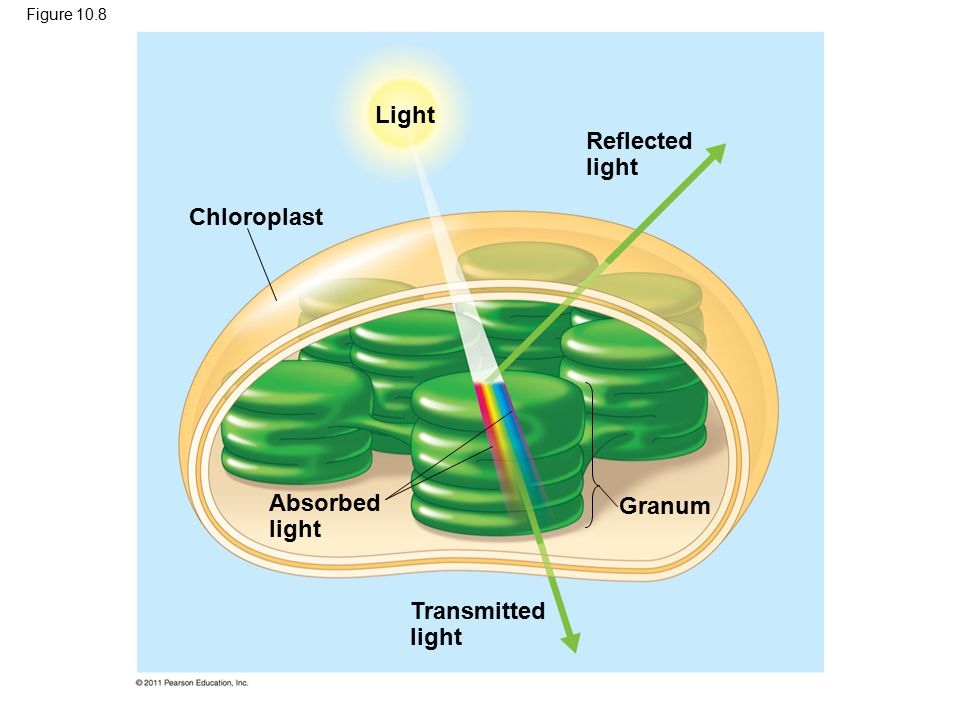 Light Reflected light Chloroplast Absorbed light Granum
